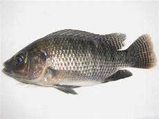 Ternak Ikan Nila Ini Untung Jutaan Sekali Panen