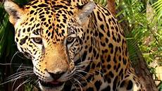 jaguars obsessed with calvin klein fragrance ambergris