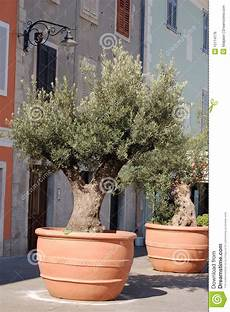 ulivo in vaso prezzo olive trees in containers royalty free stock image image
