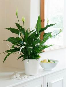 Plantes D 233 Polluantes 224 Entretien Facile Purifiez L Air En