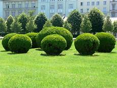 wann buchsbaum schneiden buchsbaum schneiden wann und wie zur 252 ckschneiden