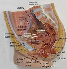 female uterus model female reproductive system anatomy and physiology models