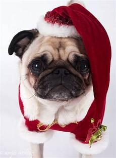 merry christmas pug pictures christmas pugs 45 pics