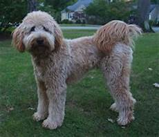 types of goldendoodle haircuts google search diy types of goldendoodle haircuts google search diy crafts that i love pinterest summer
