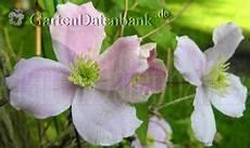 clematis montana schneiden clematis schneiden pflanzen pflege clematiswelke clematis