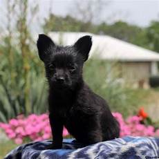 chihuahua mix welpen chihuahua mix puppies for sale greenfield puppies