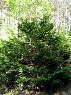 Eibe Taxus Baccata - taxus baccata wikimedia commons