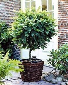 kugelakazie st 228 mmchen 1 pflanze garten pflanzen