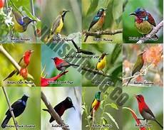 Jenis Burung Kolibri Lengkap Dengan Gambar Jenis Burung