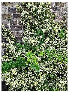kletterpflanze schatten immergrün euonymus fortunei fassadenbegr 252 nung mit kletterpflanzen