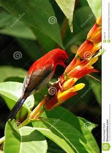 Malvorlage Vogel Mit Blume Roter Vogel Mit Blume Stockbild Bild Feder Vogel