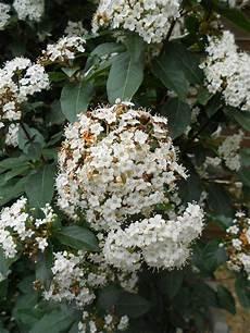 arbuste à fleurs blanches odorantes arbuste avec fleurs blanches odorantes