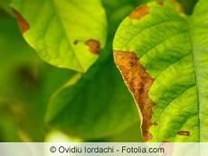 hortensien blätter werden braun h 228 ufige blattkrankheiten an obstb 228 umen hausgarten net