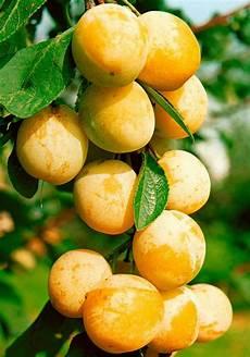 Obstbaum 187 Mirabelle De Nancy 171 100 Cm Lieferh 246 He Otto