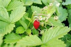 erdbeeren im balkonkasten pflanzen so gelingt s
