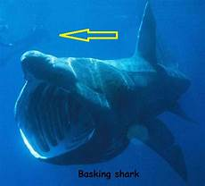 Ikan Hiu Terbesar Kedua Di Dunia Basking Shark Cinta Laut