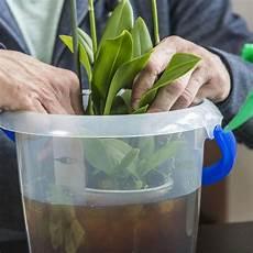 wie oft orchideen gießen orchideen zum bl 252 hen bringen so gelingt s garantiert