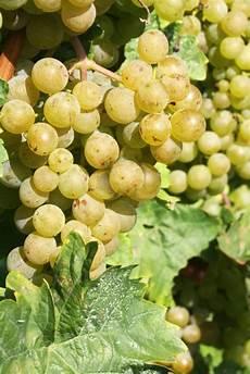 mosto fiore la vinificazione in bianco wines and secrets