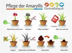 amaryllis pflege im sommer amaryllis hippeastrum ist verbl 252 ht pflege nach der