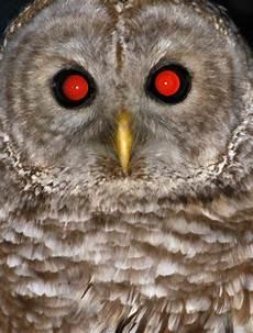 Kiwi Blurr Projek Burung Hantu