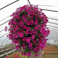 Buy Wholesale Petunia Seeds From China Petunia