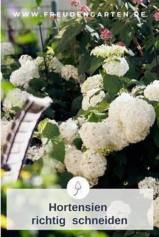 wann werden hortensien geschnitten hortensien richtig schneiden top influential