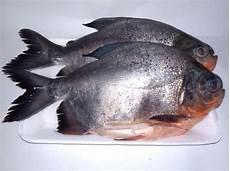 Gambar Ikan Bawal Putih Gambar Ikan Hd