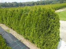 smaragd 35 40 cm 25 st 252 ck thuja lebensbaum t9x9 h real