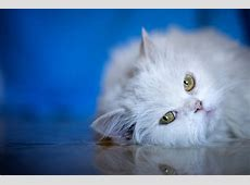 what is fip in cats