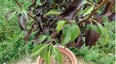 birnbaum schwarze blätter birne conference pyrus communis frisch aus der