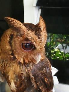 Paling Bagus 20 Gambar Burung Hantu Dares Richa Gambar