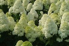 Gee Hydrangeas Hydrangea Paniculata Garden Design