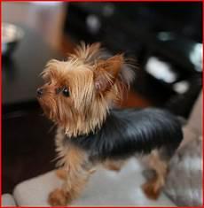 yorkie haircuts top dog information