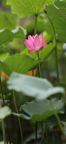 Iphone X Max Flower Wallpaper by Summer Flowers Pink Lotus Green Foliage 1242x2688 Iphone