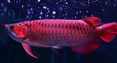 Ikan Arwana Cara Merawat Jenis Pakan Dan Harganya