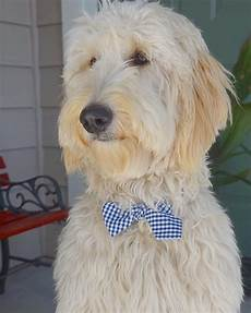 16 new goldendoodle haircut guide pictures meowlogy 16 new goldendoodle haircut guide pictures goldendoodle haircuts goldendoodle grooming