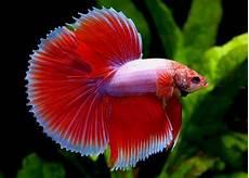 Cara Mudah Budidaya Ikan Cupang Yang Baik Dan Benar