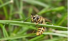 Wespen Bek 228 Mpfen Vertreiben Beseitigen Und Entfernen
