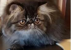 gatti persiani regalo regalo adozione gatti persiani valdobbiadene