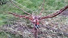 plantation taille d un abricotier