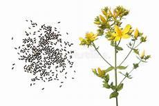 mosto fiore fiore semi e piantina di timo o serpyllum