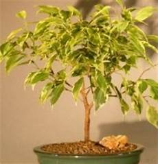 how to care for bonsai weeping fig ficus benjamina