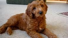 images puppy cut for a goldendoodle goldendoodle a golden retriever poodle mix spockthedog com