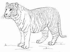 Coole Malvorlagen Lernen Tiger Zeichnen Lernen Schritt F 252 R Schritt Tutorial