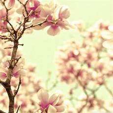 magnolia flower iphone wallpaper mobile magnolia wallpaper hd pictures