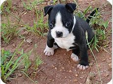 Bug   Adopted Puppy   Syacuse, NY   Boston Terrier/Pug Mix