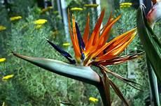 uccelli paradiso fiore uccelli paradiso piante da giardino