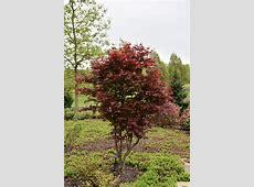 Emperor I Japanese Maple (Acer palmatum 'Wolff') in Inver