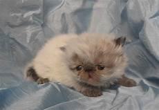 annunci gatti persiani gattini persiani petpassion