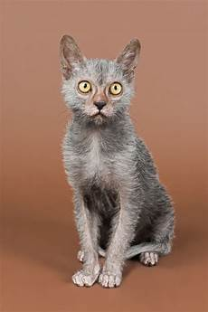 cat breed the lykoi cat a new breed pets4homes